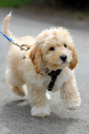 "alt=""cockapoo"", alt=""dogs of pinterest"""